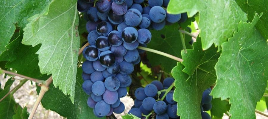 Uva di Nero d'Avola