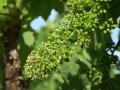 Giovane uva
