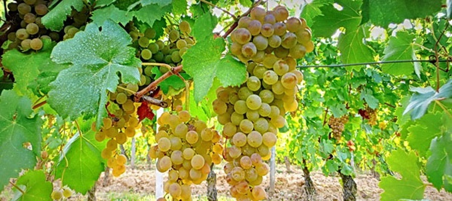 Inzolia (Insolia), caratteristiche e suoi vini